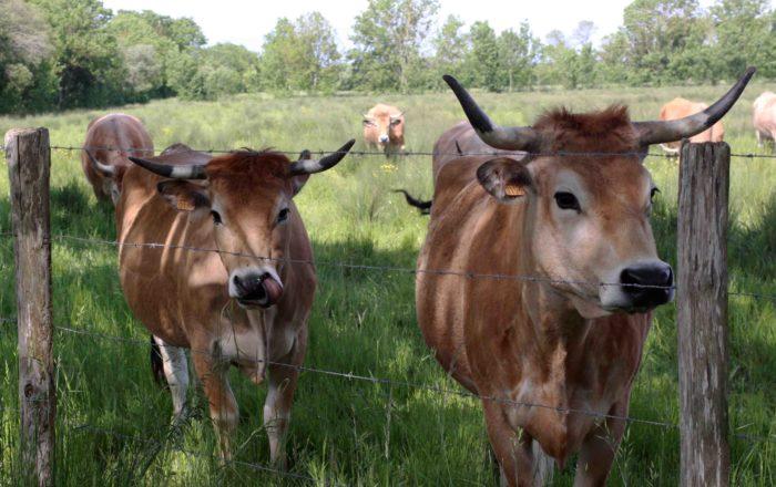 Vaches maraichines - Photo Alice Belain