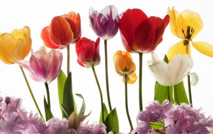 Photos tulipes ETSY - Alice Belain
